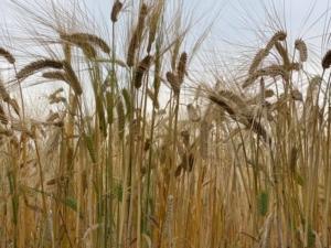 トヨノホシ 麦畑   豊後大野市
