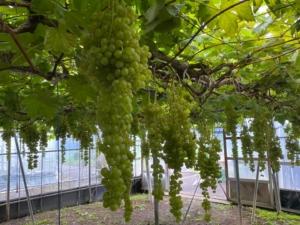 世界一のブドウ!「ネヘレスコール」収穫体験 大分農業文化公園 杵築市山香町